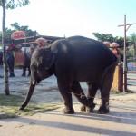 Un éléphant dans le centre historique (Ayutthaya)