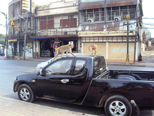 Singes dans les rues de Lopburi (Thaïlande)