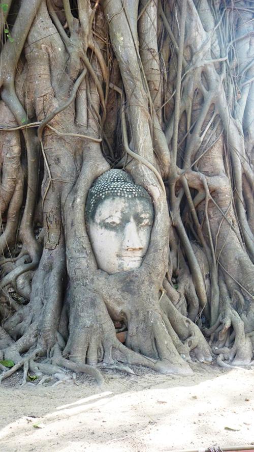 Tête de bouddha dans un arbre (Wat Phra Mahathat - Ayutthaya)