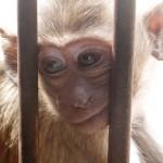 Adorable petit singe dans le Wat Phra Prang Sam Yod (Lopburi - Thaïlande)