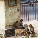 Réunion de singes à Lopburi