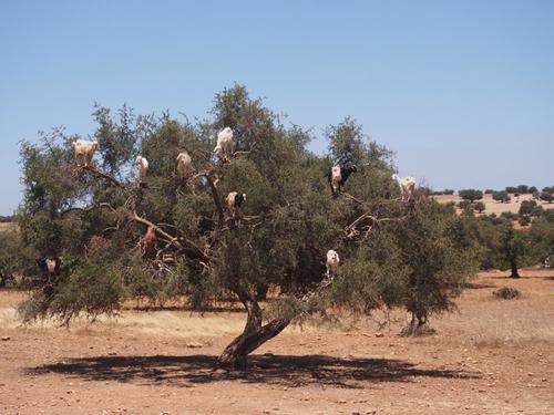 Chèvres dans des arganiers au Maroc