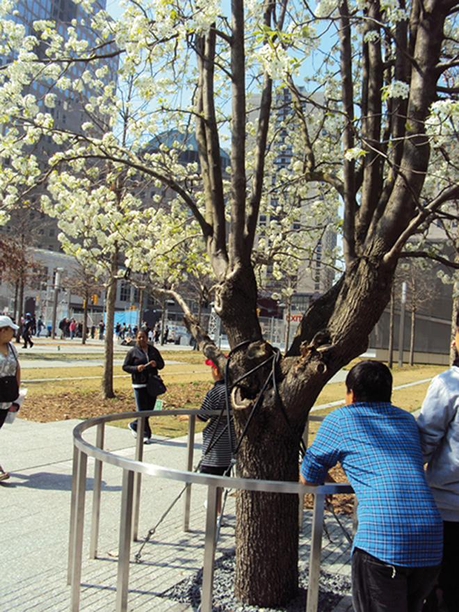 Le Survivor Tree, un symbole très fort dans ce lieu solennel à New-York