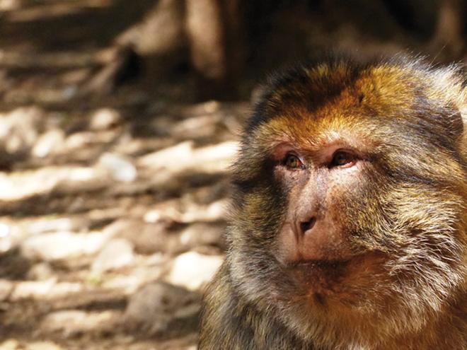 Un singe penseur dans la fôret d'Azrou près de Fès au Maroc