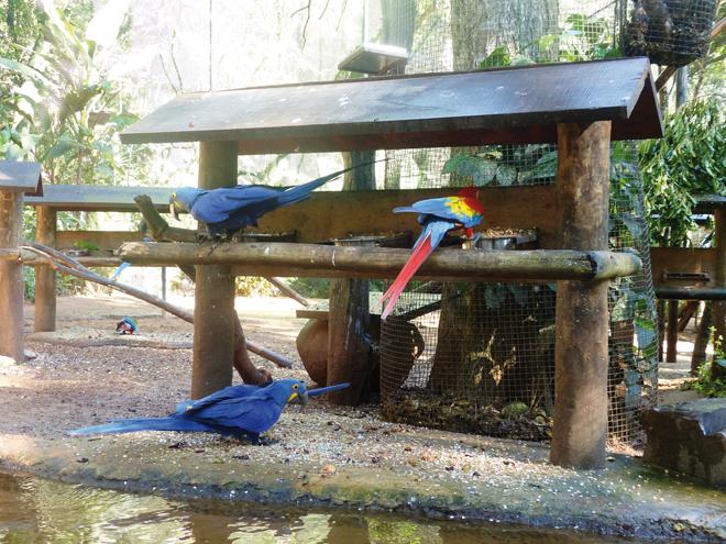 Des aras en plein repas dans le parc des Oiseaux de Iguazu