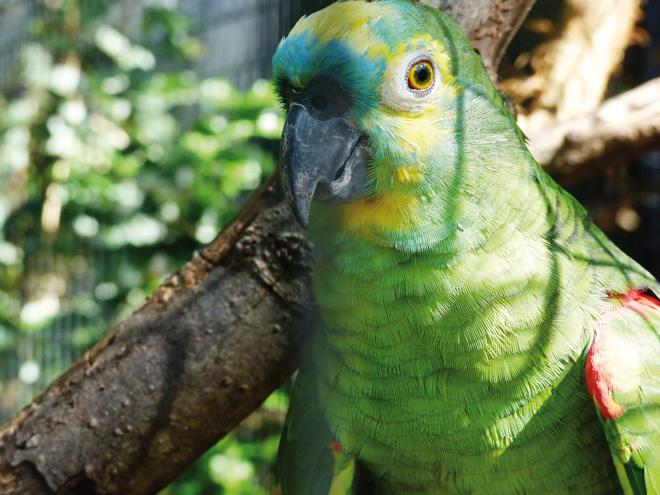 Un perroquet vert dans le parc des Oiseaux de Iguazu