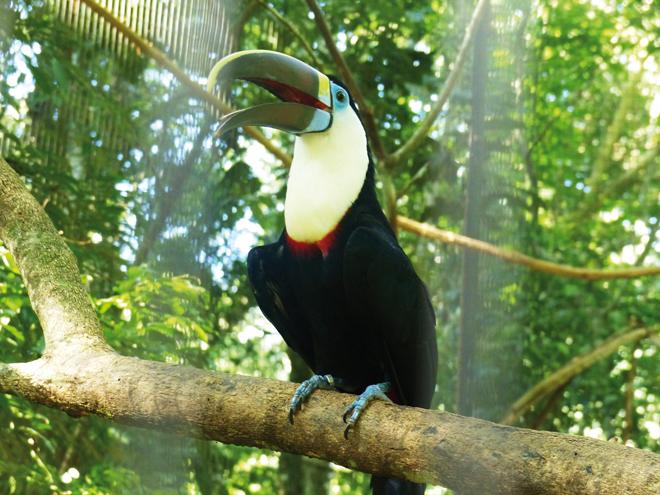 Un magnifique toucan bleu dans le parc des Oiseaux de Iguazu
