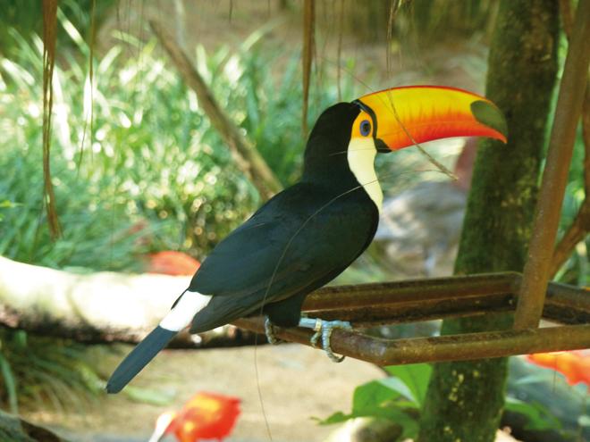Un sublime toucan dans le parc des Oiseaux de Iguazu au Brésil