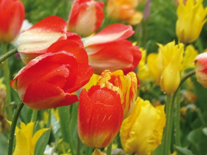 De magnifiques tulipes dans le parc Vondelpark à Amsterdam