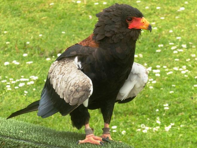 Un très beau faucon mais un piètre spectacle, dommage !