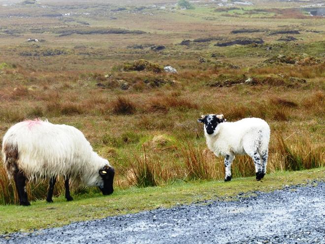 """Les fameux """"black sheeps"""" du Connemara en Irlande"""