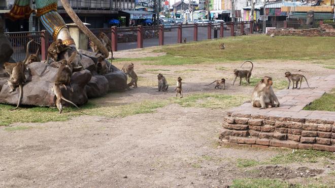 Les singes sont partout à Lopburi en Thailande