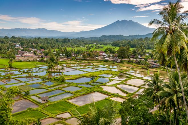 Les rizieres de l'île de Sumatra en Indonésie