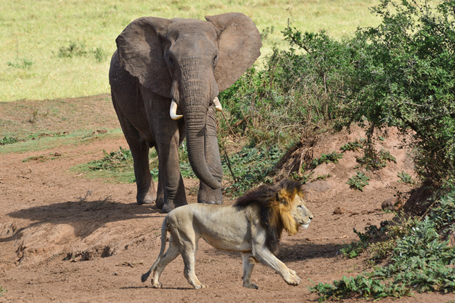 Une scène habituelle lors d'un safari en Afrique du Sud