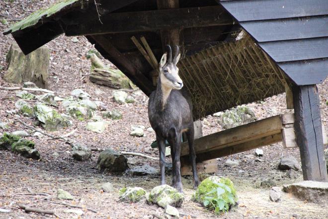 Chamois au parc safari des grottes de han en belgique