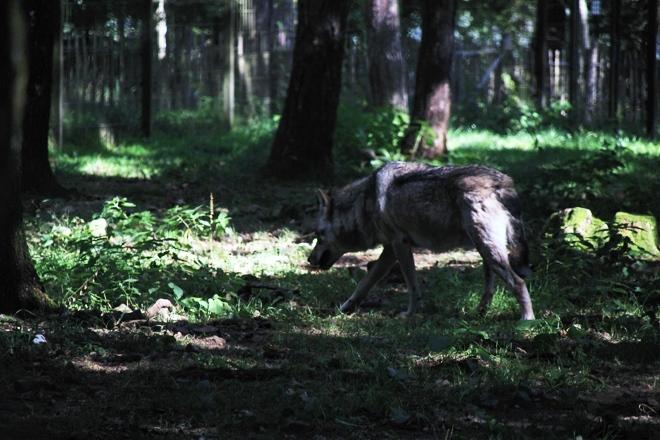 Un des loups du Parc Animalier des Grottes de Han