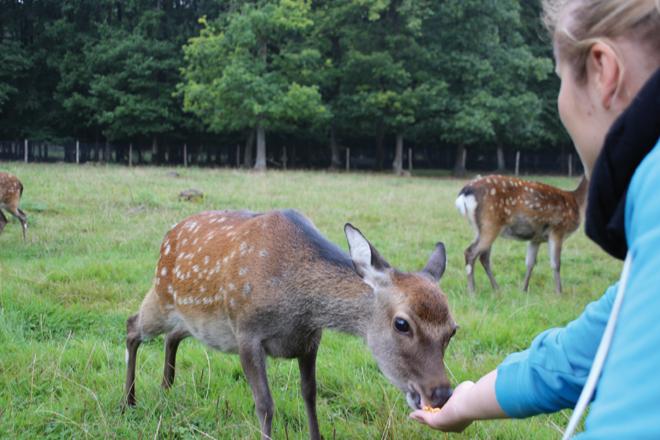 Un des meilleurs moments de la journée : nourrir les Cerfs sika