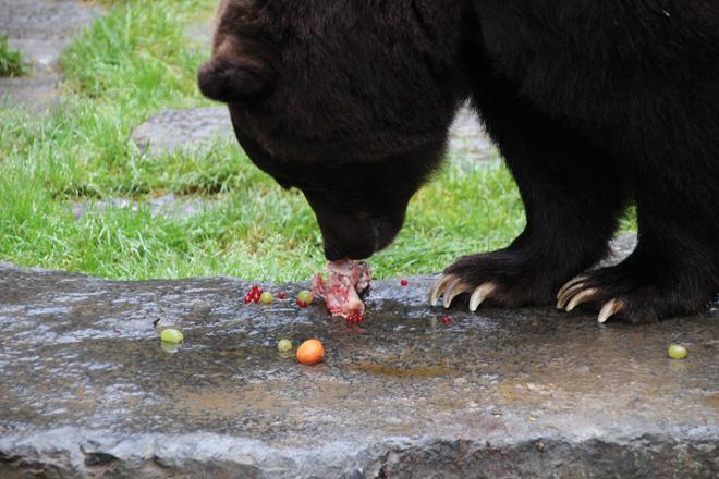 Nourrir des ours, un rêve devenu réalité