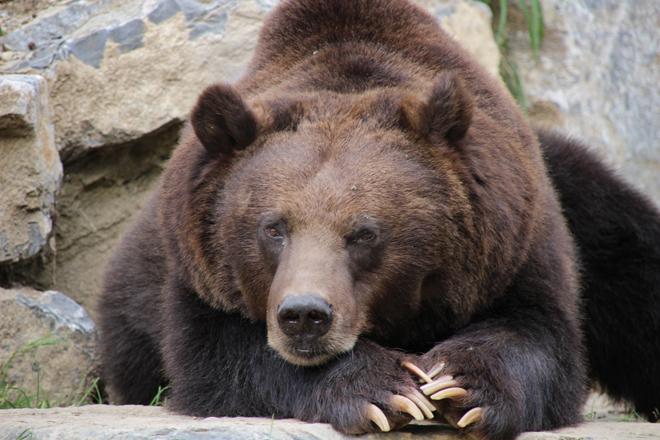 Un des deux ours du Parc animalier