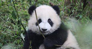 Visiter Chengdu en 3 jours
