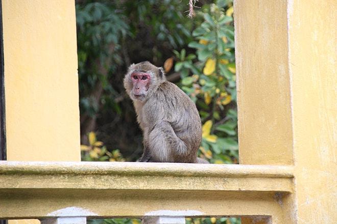 Singe Monkey Island Cat Ba croisière dans la Baie d'Halong