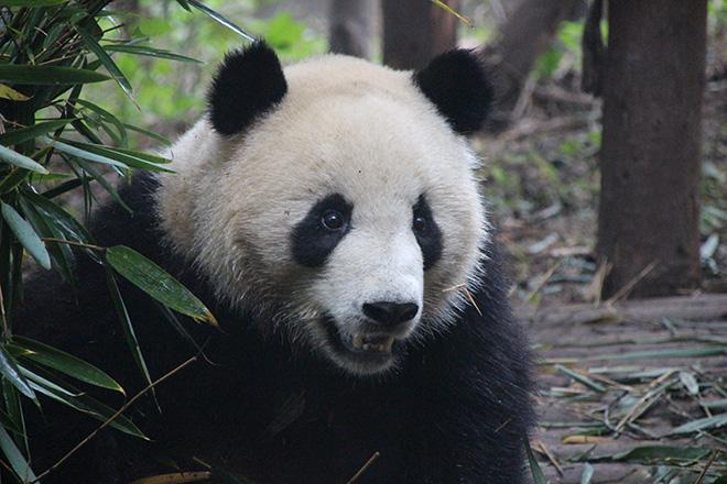 3 jours  u00e0 chengdu   des pandas  des gens et le bouddha de