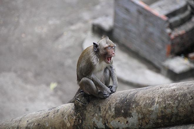 singe battambang