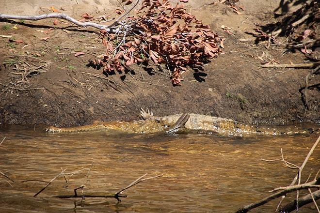Crocodile Katherine-Australie-Northern Territory