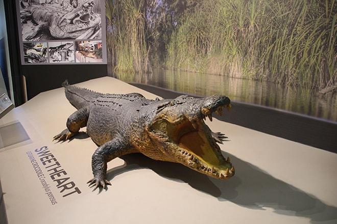 Crocodile musee Darwin Australie