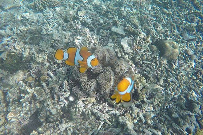 Nemo Tumbak Sulawesi