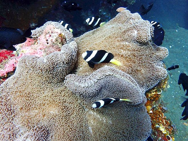 Nemo noir blanc Tulamben Dive Concept Bali plonger à Tulamben