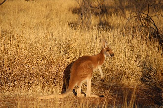 Kangaroo Adulte Alice Springs