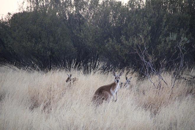 Kangourou dans la reserve Alice SpringsKangourou dans la reserve Alice Springs