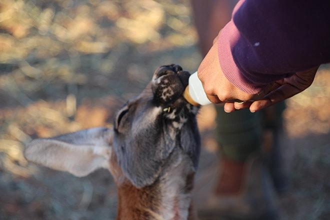 Kangourou lait Kangaroo Sanctuary Alice Springs