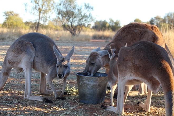 Kangourous mangent Kangaroo Sanctuary Alice Springs