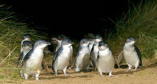 1 journée sur Phillip Island, l'île aux pingouins