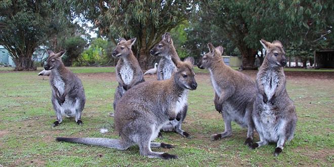 3 jours kangaroo island  l u0026 39  u00eele des animaux en australie du