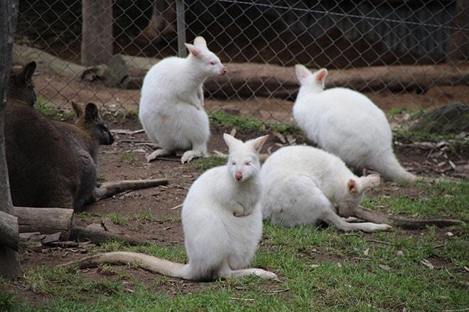 Kangourous blanc Adelaide Australie