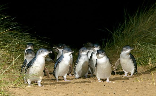pingouins phillip island
