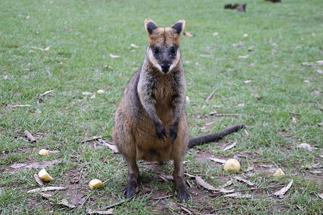 Wallaby Adelaide Hills Australie