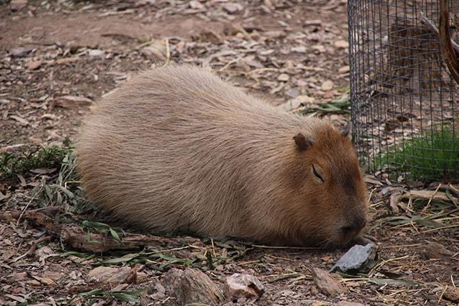 Wombat Adelaide Australie