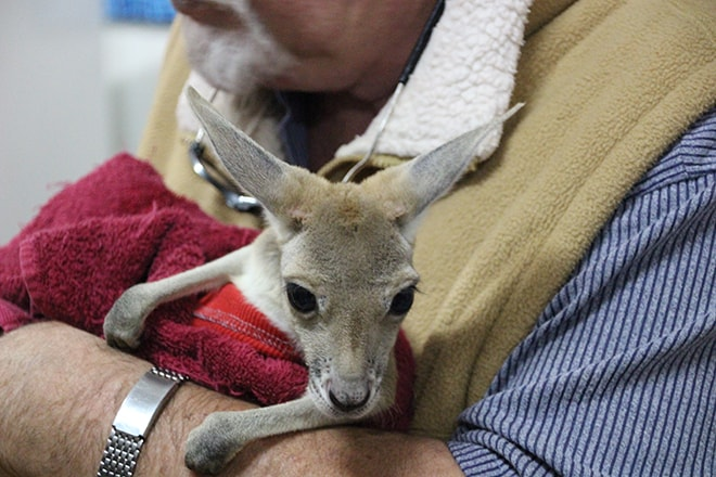 kangourou coober pedy