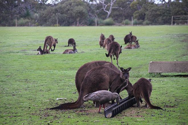 kangourous Kangaroo Island Wildlife Park