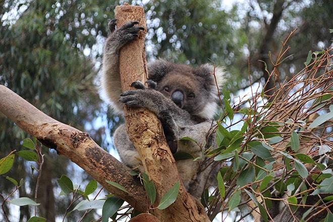 koala Kangaroo Island Wildlife Park