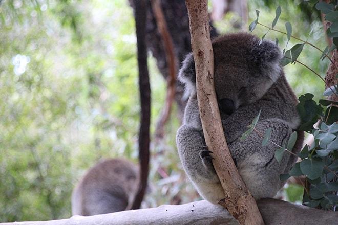 koala qui dort Adelaide Australie