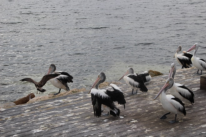 pelicans kangaroo island