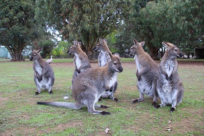 wallabies kangaroo island