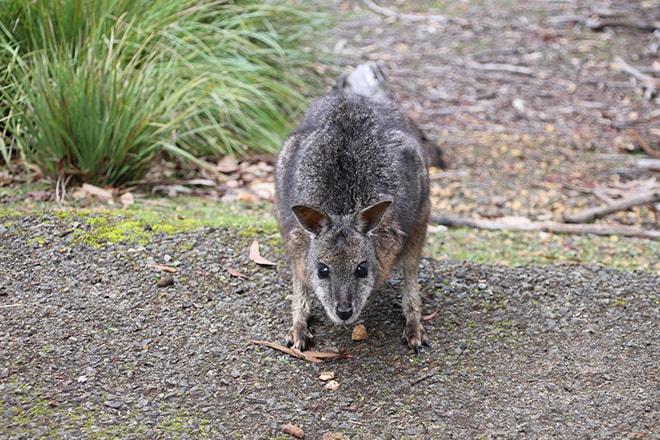 wallaby kangaroo island