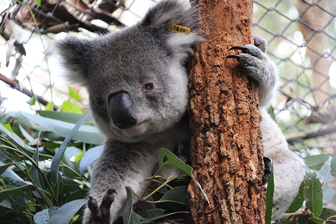 Koala Port Macquarie Australie
