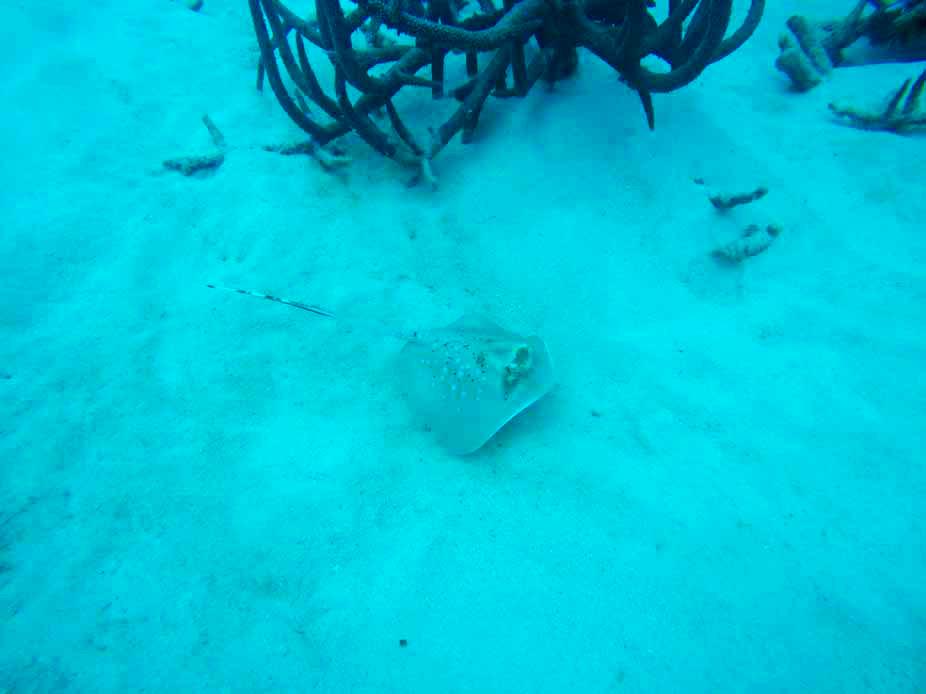 Raie Grande Barrière de Corail Cairns Australie